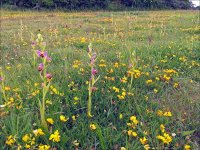 Bee-orchids.jpg