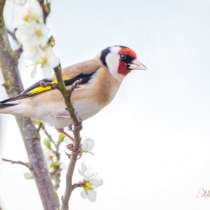 IOTW_Mike Singh_Golden-Finch.jpg
